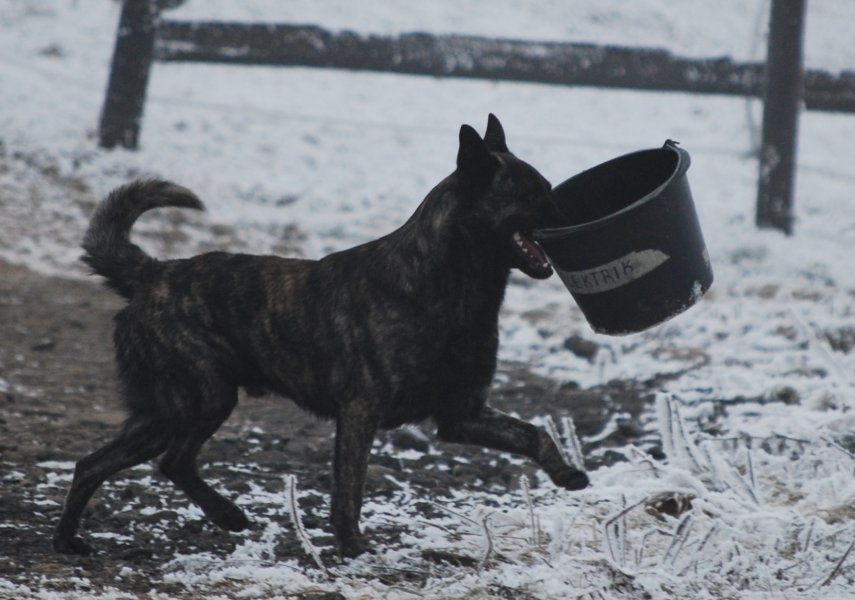 dutch shepherd, Bony